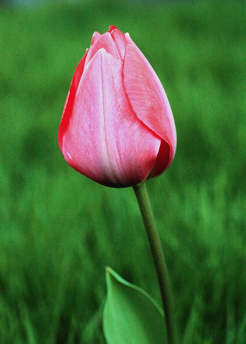 Tulip Greeting Card featuring the photograph Lone Tulip by Teresa Herlinger