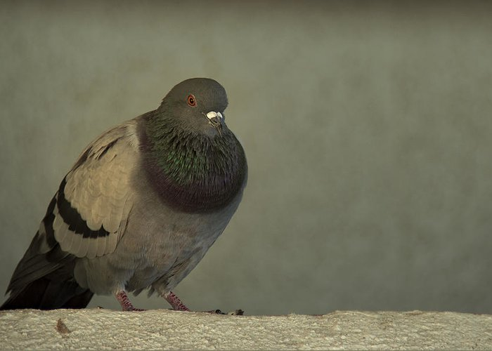 Pigeon Greeting Card featuring the photograph Lonely by Mario Celzner