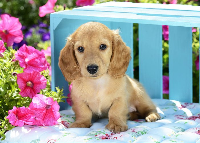 Puppy Greeting Card featuring the photograph Long Eared Puppy In Front Of Blue Box by Greg Cuddiford