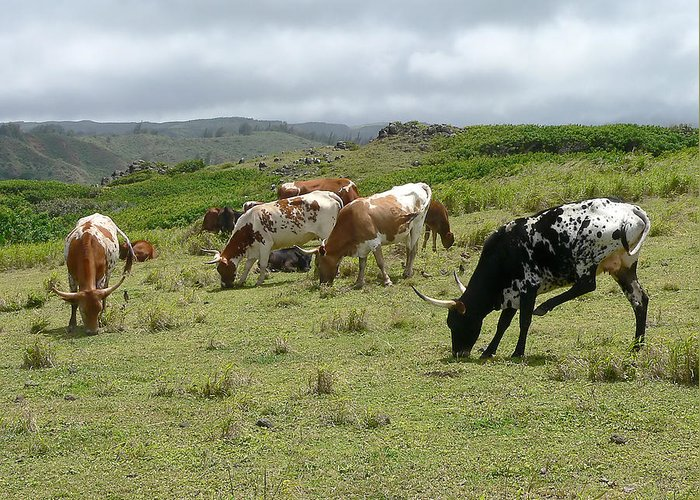 Cows Greeting Card featuring the photograph Longhorn Cattle by John Orsbun
