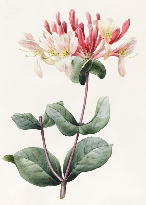 Botanical Greeting Card featuring the painting Lonicera Periclymenum by Louise D Orleans