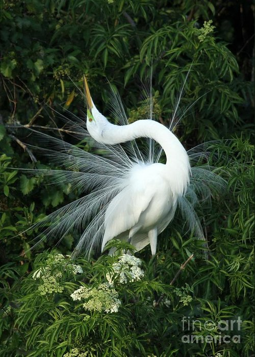 Great White Egret Greeting Card featuring the photograph Look At Me by Sabrina L Ryan