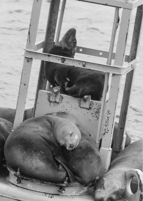 Seal Greeting Card featuring the photograph Look At The One In The Middle Black And White by Scott Campbell