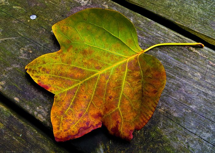 Autumn Leaf Greeting Card featuring the photograph Look Down 3 by Shawna Rowe