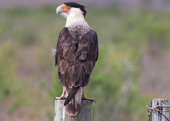 Caracara Greeting Card featuring the photograph The Sentinel by David Mortenson