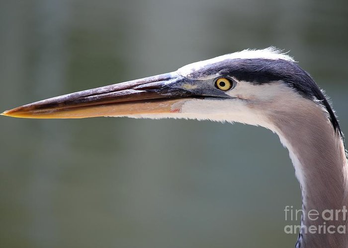 Great Blue Heron Greeting Card featuring the photograph Looking Sharp by Theresa Willingham