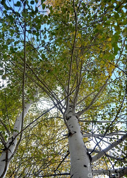 Aspen Greeting Card featuring the photograph Looking Up by Paulina Roybal