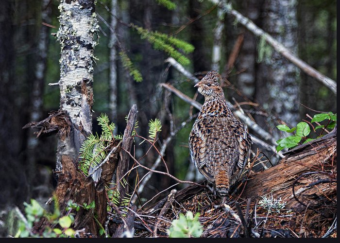 Ruffed Grouse Greeting Card featuring the photograph Lookout by Betty Depee