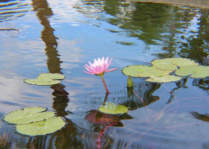 Flower Greeting Card featuring the photograph Lotus Flower by Raquel Amaral