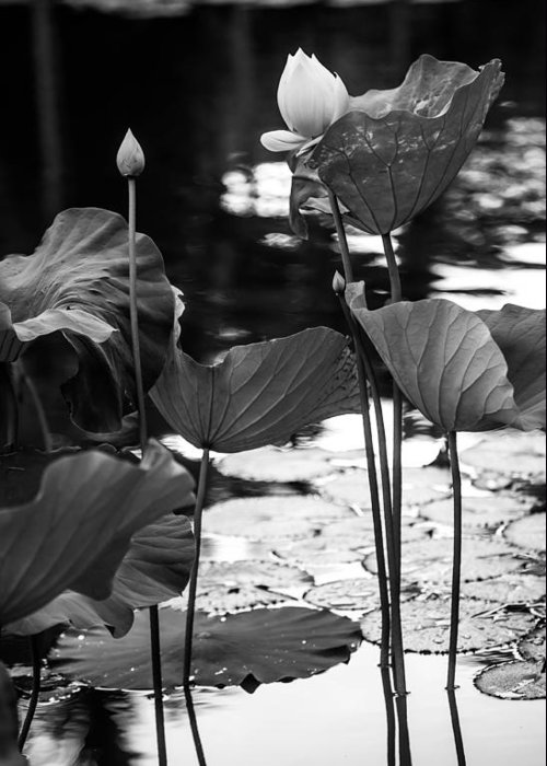 Mauritius Greeting Card featuring the photograph Lotuses In The Pond I. Black And White by Jenny Rainbow
