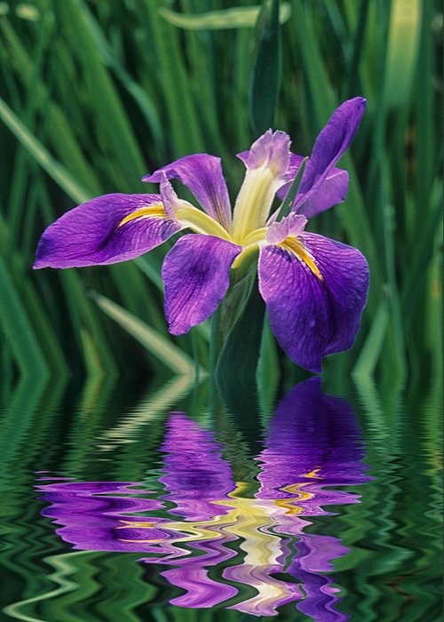 A Louisiana Iris Stands In Water Greeting Card featuring the photograph Louisiana Iris by Keith Gondron