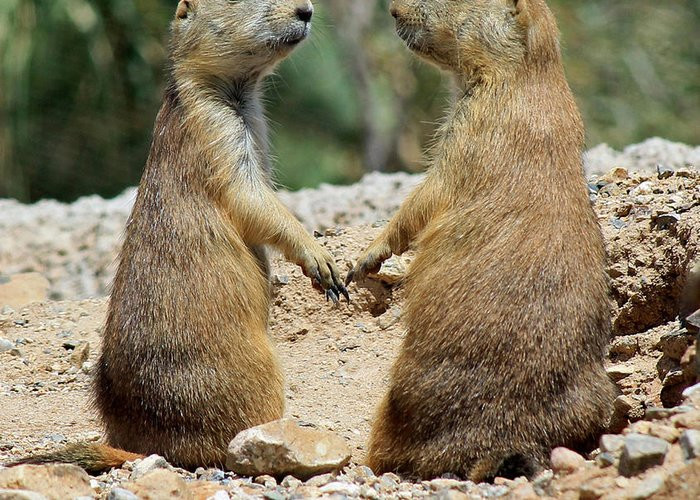 Prairie Dogs Greeting Card featuring the photograph Love Birds by Elaine Malott