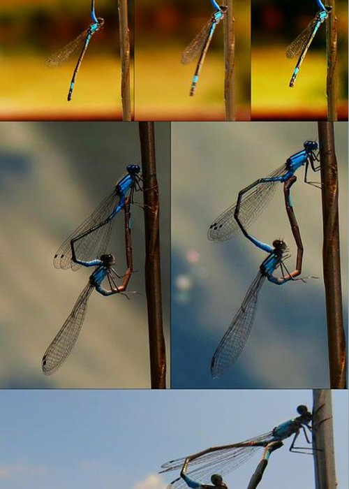 Damselflies Greeting Card featuring the photograph Lovedance Sequence by Rrrose Pix