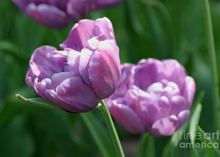 Tulips Greeting Card featuring the photograph Lovely Lavender by Living Color Photography Lorraine Lynch