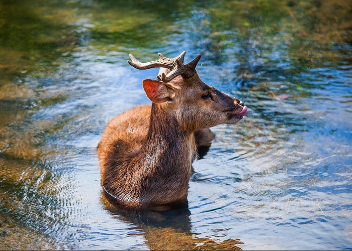 Nature Greeting Card featuring the photograph Lovely Time In Water. Male Deer In The Pampelmousse Botanical Garden. Mauritius by Jenny Rainbow