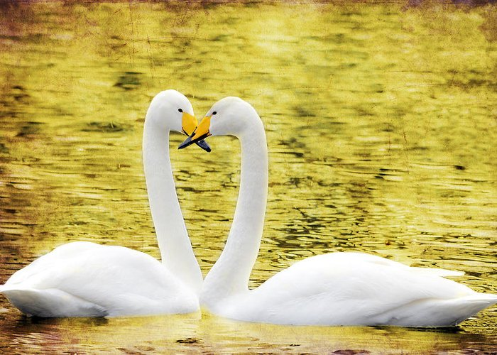 Valentine's Day Greeting Card featuring the photograph Loving Swans by Tommytechno Sweden