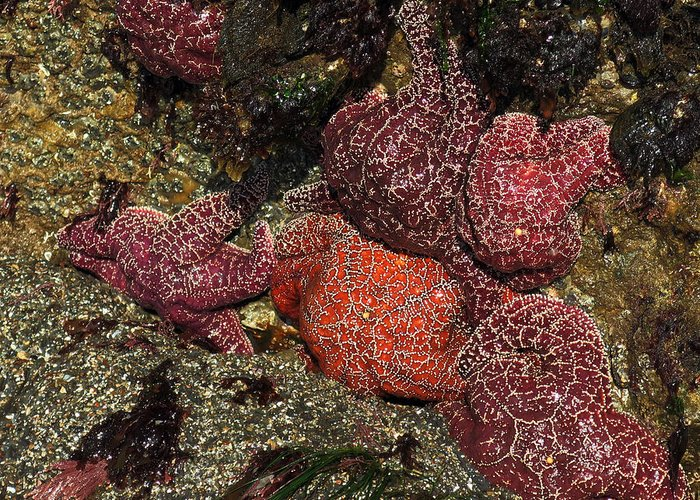 Common Starfish  Ventura Greeting Card featuring the photograph Low Tide Party by Sherry Ringer