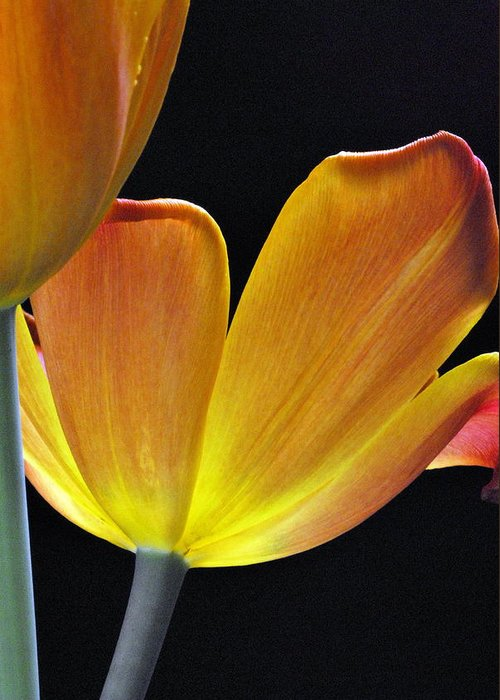 Flower Greeting Card featuring the photograph Luminescent Tulips by Keith Gondron