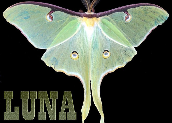 Butterfly Digital Art Greeting Card featuring the photograph Luna 1 by Mim White