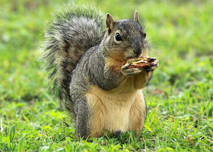 Squirrel Greeting Card featuring the photograph Lunch Time by Ronnie Prcin