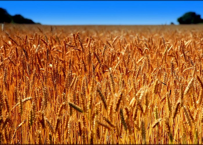 Wheat Greeting Card featuring the photograph Lying In The Rye by Karen Wiles