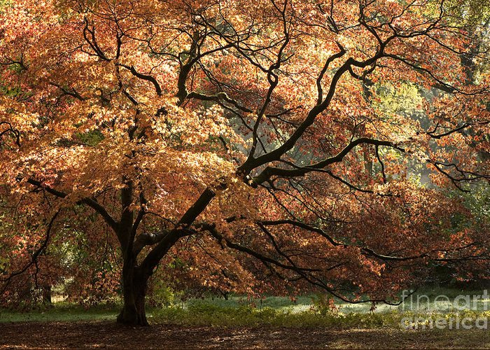 Acer Greeting Card featuring the photograph Magnificent Autumn by Anne Gilbert