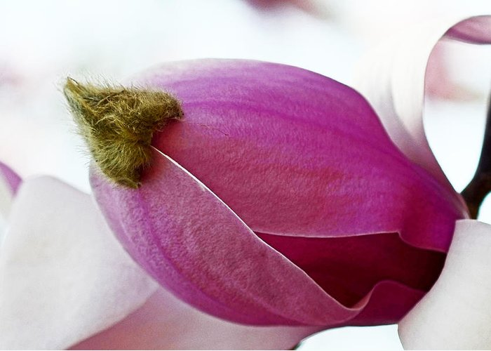 Magnolia Blossom With Cap Greeting Card featuring the photograph Magnolia Blossom With Cap by Lisa Phillips