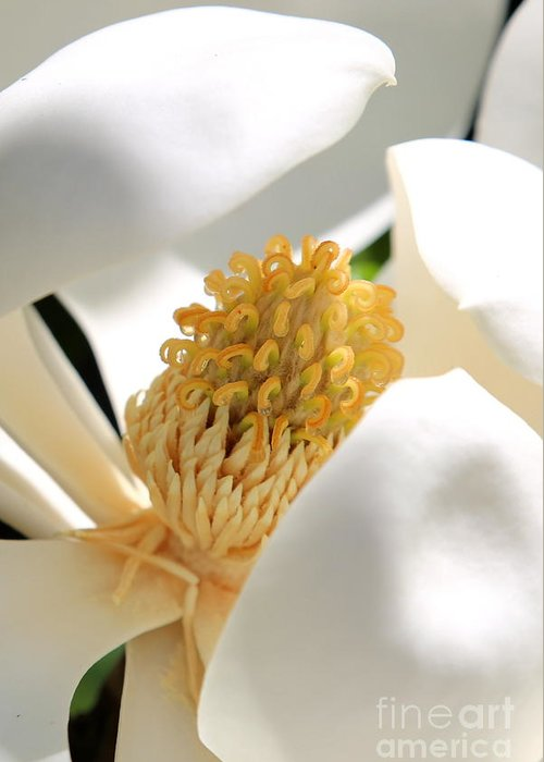 Magnolia Greeting Card featuring the photograph Magnolia Center by Carol Groenen