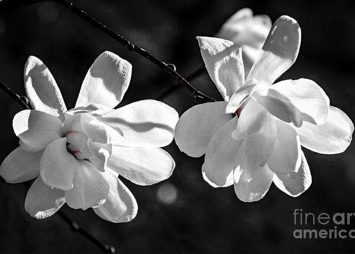 Magnolia Greeting Card featuring the photograph Magnolia Flowers by Elena Elisseeva