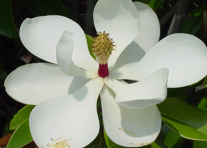 Magnolia Grandiflora Greeting Card featuring the photograph Magnolia II by Suzanne Gaff
