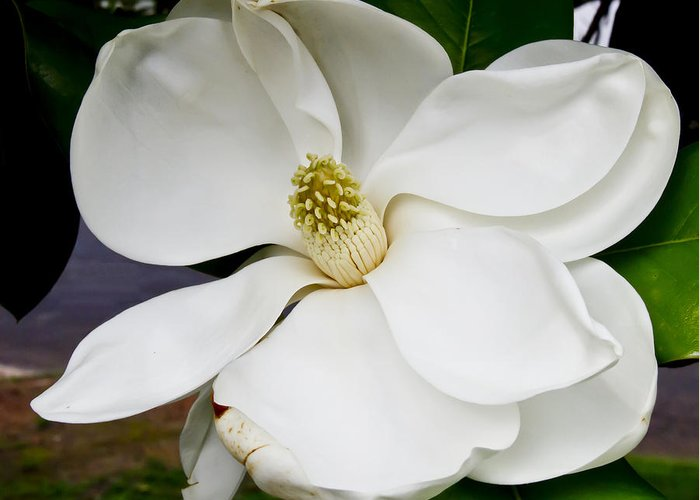 Magnolia Greeting Card featuring the photograph Magnolia One by Paul Anderson