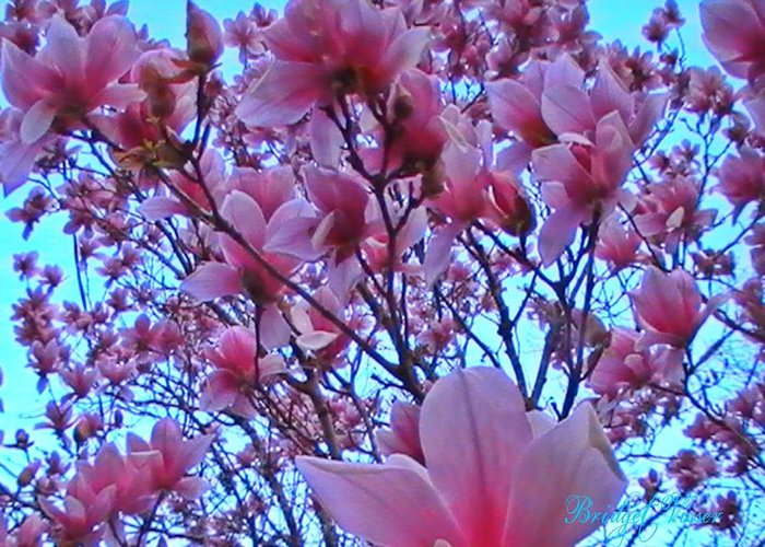 Pink Magnolia Tree Blue Sky Transcendant Greeting Card featuring the photograph Magnolia Sky 2 by Bridget Visser
