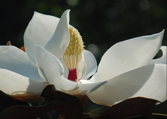 Magnolia Greeting Card featuring the photograph Magnolia Tiny Gem by Suzanne Gaff