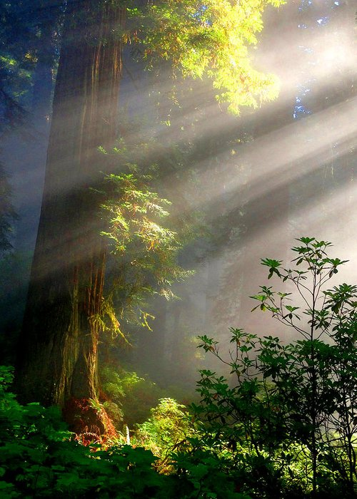 Redwood National Forest Greeting Card featuring the photograph Majestic Fantasy by Lilliana Autumn