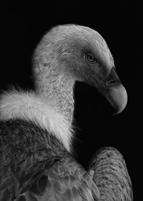 Vulture Greeting Cards