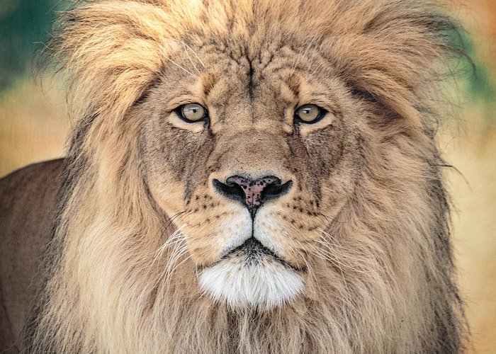 Lion Greeting Card featuring the photograph Majestic King by Everet Regal