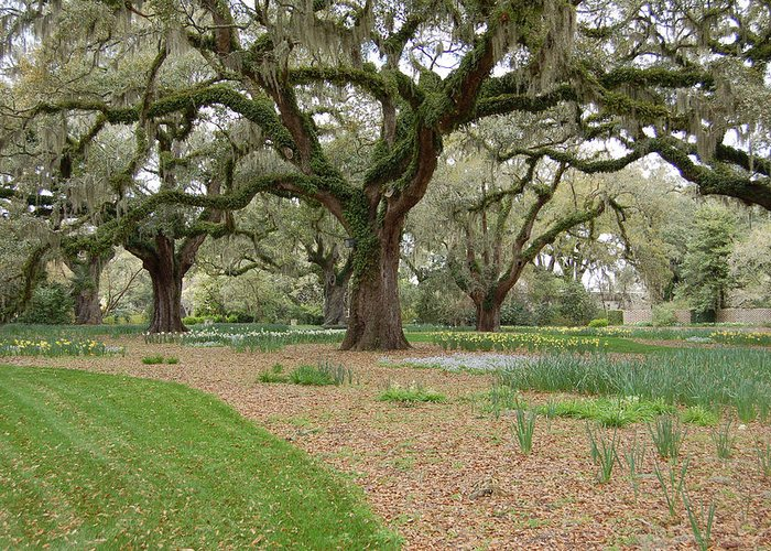 Live Oak Greeting Card featuring the photograph Majestic Live Oaks In Spring by Suzanne Gaff
