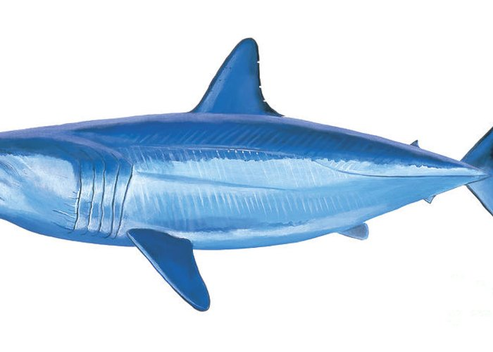 White Shark Paintings Greeting Cards