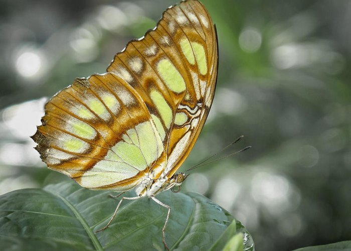 Brown Greeting Card featuring the photograph Malachite Butterfly by David and Carol Kelly