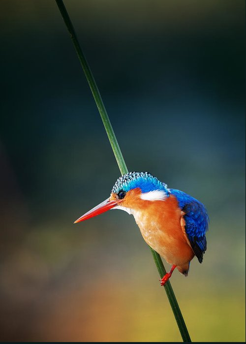 Wild; Wildlife; Animal; Bird; African; Africa; Safari Animals; Wilderness; Nature; Outdoor; Nobody; Kruger; National; Park; Kingfisher; Malachite; Alcedo; Cristata; Portrait; One; Sit; Perch; Rest; Cling; Branch; Side; View; Reed; Exotic; Colour; Colourful; Color; Colorful; Feather; Orange; Blue; Red; Small; Sharp; Bill; Beak; Long Greeting Card featuring the photograph Malachite Kingfisher by Johan Swanepoel