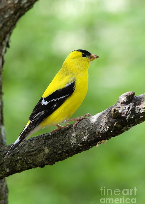 American Goldfinch Greeting Card featuring the photograph Male American Goldfinch by Thomas R Fletcher
