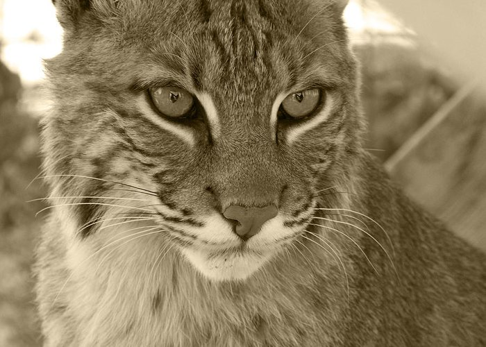 Bobcats Greeting Card featuring the photograph Male Bobcat - Sepia by Jennifer King