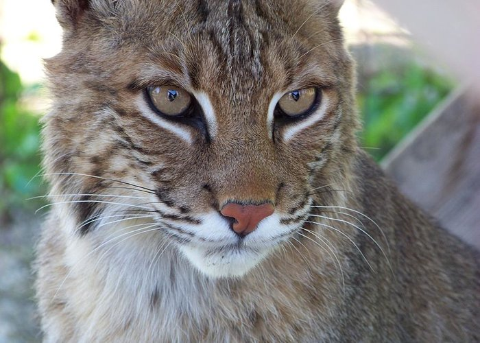 Cats Greeting Card featuring the photograph Male Bobcat1 by Jennifer King