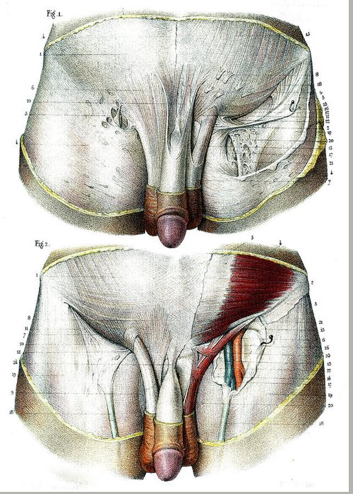Male Groin Anatomy Greeting Card for Sale by Collection Abecasis