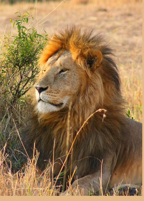 Lion Greeting Card featuring the photograph Male Lion by Amanda Stadther