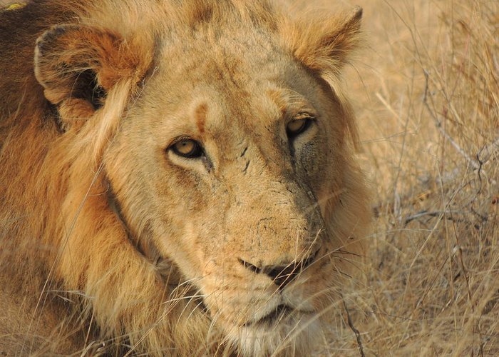 Lion Greeting Card featuring the photograph Male Lion by Lauren Armstrong