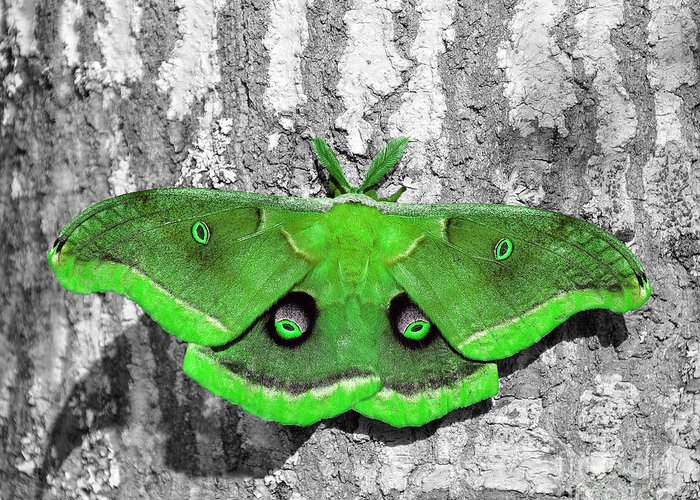 Moth Greeting Card featuring the photograph Male Moth Green by Al Powell Photography USA