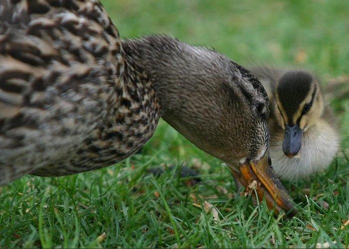 Mallard Duck Greeting Card featuring the photograph Mallard Hen And Duckling by John Dart