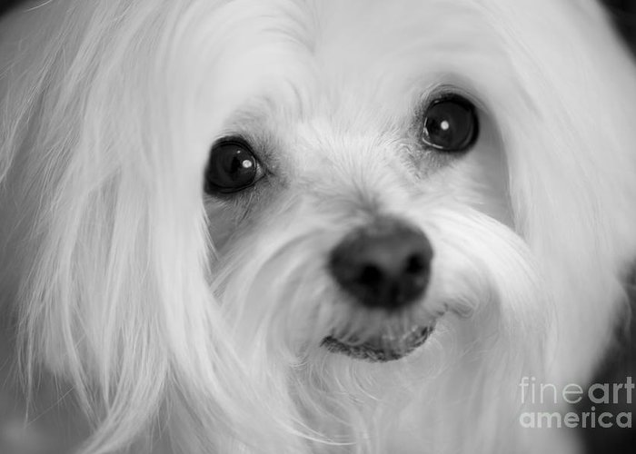 Maltese Greeting Card featuring the photograph Maltese Eyes by Leslie Leda