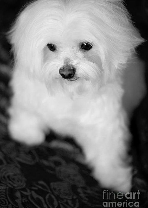 Maltese Greeting Card featuring the photograph Maltese Love by Leslie Leda